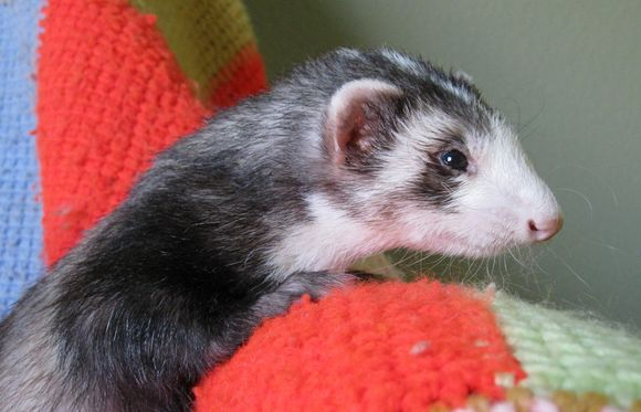 Boogers Ferret in his executive offices preparing to nap